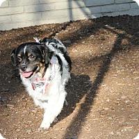 Adopt A Pet :: PAULIE - Phoenix, AZ
