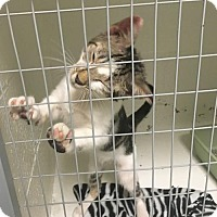 Domestic Shorthair Cat for adoption in Ada, Oklahoma - Leon