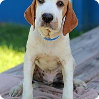 Adopt A Pet :: Ruebeus - Waldorf, MD
