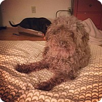Poodle (Miniature) Mix Dog for adoption in Dallas, Texas - Beatrice