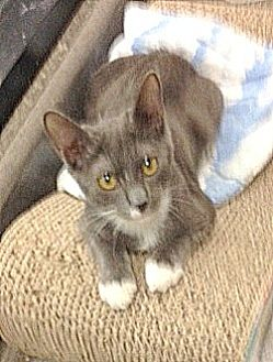 Domestic Shorthair Kitten for adoption in San Leandro, California - Madison