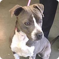 Boxer Mix Dog for adoption in CRANSTON, Rhode Island - Scarlett-URGENT