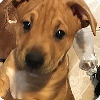 Adopt A Pet :: Sahara - BONITA, CA