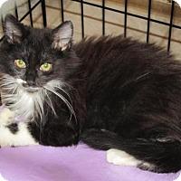 Adopt A Pet :: Bombay - Cincinnati, OH