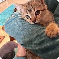 Adopt A Pet :: Zsa Zsa - Deerfield Beach, FL