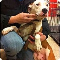 American Pit Bull Terrier Mix Dog for adoption in Blanchard, Oklahoma - Moe