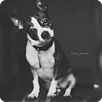 Adopt A Pet :: Wiggles - Minnetonka, MN
