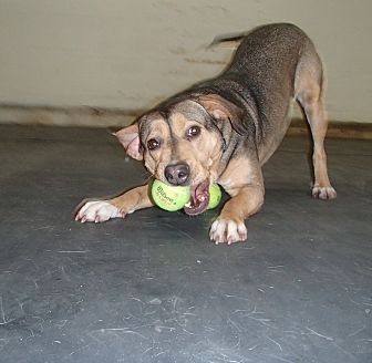American Pit Bull Terrier/Shepherd (Unknown Type) Mix Dog for adoption in Vernon Hills, Illinois - Baby