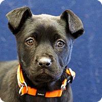 Adopt A Pet :: Katzie - Ile-Perrot, QC