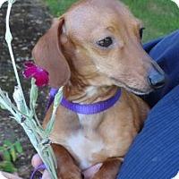 Adopt A Pet :: LIL BIT - Portland, OR