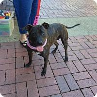 Adopt A Pet :: Mae West-REDUCED ADOPTION FEE - West Orange, NJ