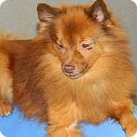 Pomeranian Dog for adoption in Hilham, Tennessee - RUSTY (Central TN)