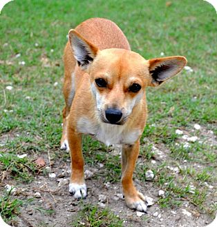 Chihuahua Mix Puppy for adoption in Tavares, Florida - Cody