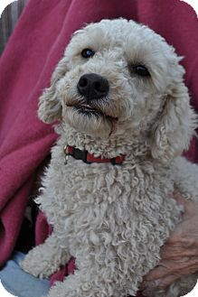 Bichon Frise Dog for adoption in Palmdale, California - Jasper
