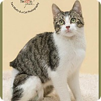 Manx Cat for adoption in Park Falls, Wisconsin - Xedo