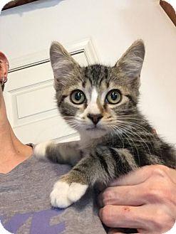 Domestic Mediumhair Cat for adoption in Johnson City, Tennessee - Sebastian