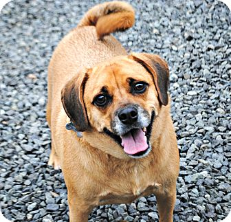 Pug/Beagle Mix Dog for adoption in Linden, New Jersey - A.J.