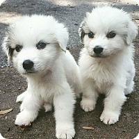 Adopt A Pet :: Ariel and Sebastian - Knoxville, TN