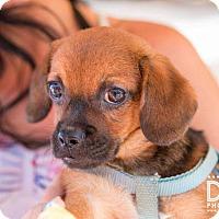 Adopt A Pet :: Tuffy - Minneapolis, MN
