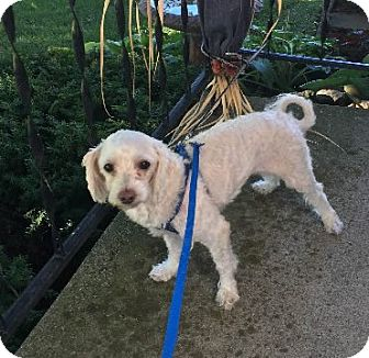 Poodle (Standard) Mix Dog for adoption in Avon, New York - Snuggles