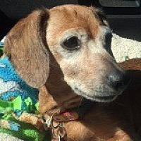 Dachshund Dog for adoption in Houston, Texas - Cece Scores