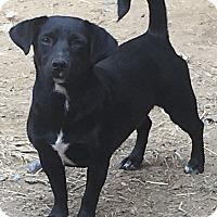 Dachshund Mix Dog for adoption in Plainfield, Connecticut - Suzie