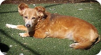 Dachshund Mix Dog for adoption in Henderson, Nevada - Fiona