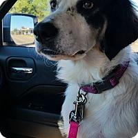Border Collie Mix Dog for adoption in Wichita Falls, Texas - Spirit