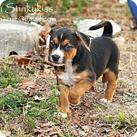 Dachshund/Basset Hound Mix Puppy for adoption in Aiken, South Carolina - Denver