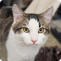 Maine Coon Cat for adoption in Los Angeles, California - Zenith