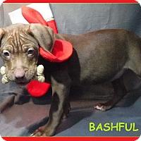 Adopt A Pet :: Bashful - Batesville, AR