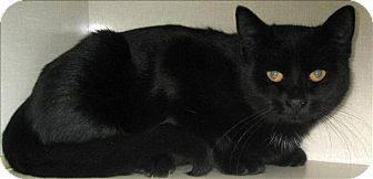Domestic Shorthair Cat for adoption in Duncan, British Columbia - Star