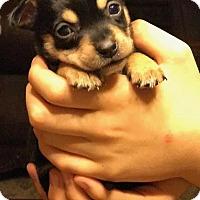 Adopt A Pet :: Hitchcock - Tucson, AZ