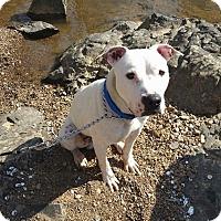 Adopt A Pet :: Mr. Pickles - Durham, NC