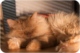 Persian Cat for adoption in Santa Rosa, California - Toby