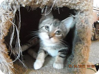 Domestic Shorthair Kitten for adoption in Riverside, Rhode Island - Bianca 2