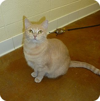 Domestic Shorthair Cat for adoption in Lake Charles, Louisiana - Nanashi