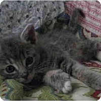 Adopt A Pet :: Kitten 1 - Davis, CA