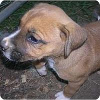 Adopt A Pet :: El Girl Perry - Glastonbury, CT