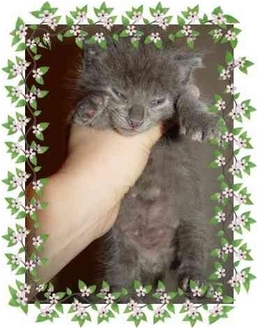 Domestic Mediumhair Kitten for adoption in KANSAS, Missouri - Jeffrey & Joey
