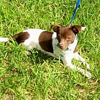 Chihuahua Dog for adoption in ocala, Florida - Eddie