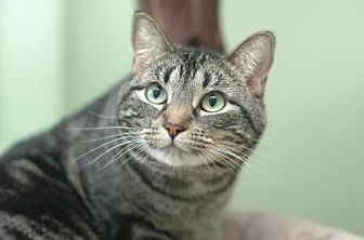 Domestic Shorthair Cat for adoption in Auburn, California - Venus II