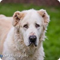 Shepherd (Unknown Type) Mix Dog for adoption in McKinney, Texas - Atlas