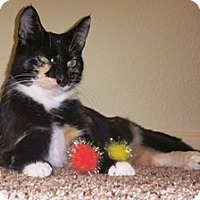 Domestic Shorthair Cat for adoption in Tampa, Florida - Petunia