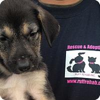 Adopt A Pet :: ROSEBUD shep female - Pompton Lakes, NJ