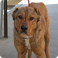 Adopt A Pet :: Commodore - Brooklyn, NY