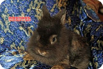 Lionhead for adoption in Walker, Louisiana - Chester
