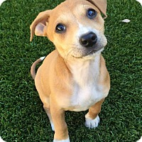 Adopt A Pet :: March Madness Pup - Sooner - Adopted! - San Diego, CA