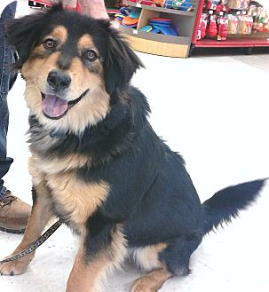 Australian Shepherd/Golden Retriever Mix Puppy for adoption in Phoenix, Arizona - Angus