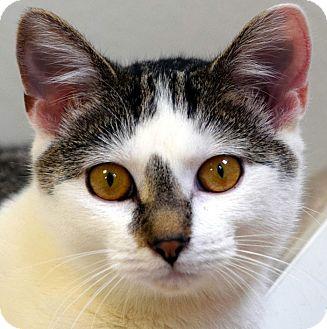 Domestic Shorthair Cat for adoption in Norwalk, Connecticut - Skye